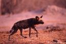 Wildhunde713