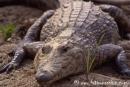 Krokodil001