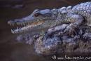 Krokodil002