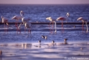 Flamingo001