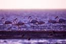 Flamingo005