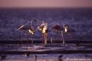 Flamingo006