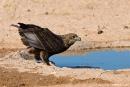 Raubadler (Aquila rapax), Tawny Eagle
