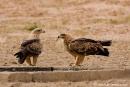 Raubadler (Aquila rapax) am Wasserloch, Tawny Eagle