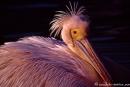 Pelikan_Zoo719