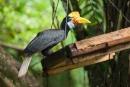 Fütterungsstation des Nashornvogels