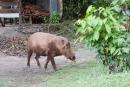 Hier im Camp geht sogar ein Schwein spazieren