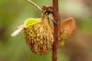 Kannenpflanze (Nepenthes)
