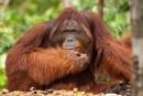 Das Orang Utan-Männchen genießt seine Vormachtstellung sichtlich