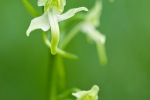 Zweiblättrige Waldhyazinthe (Platanthera bifolia)