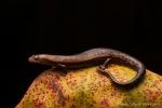 Salamander (Bolitoglossa sima), Peruvian Salamander
