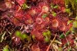 Rundblättriger Sonnentau (Drosera rotundifolia)