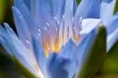 Blaue Seerose (Nymphaea)