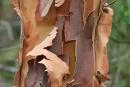 Rinde eines Eukalyptusbaumes. Der Baum produziert seinen eigenen Dünger, indem er seine Rinde abwirft.