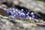 Glockenblumen zwischen Felsen