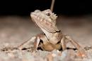 Boyd`s Winkelkopfagame (Hypsilurus boydii), Boyd`s Forest Dragon