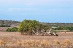 Windgebeugter Flusseukalyptus