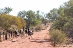 """Emus auf """"Gruppensafari"""""""