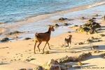 Wilde Ziegen beim Strandspaziergang