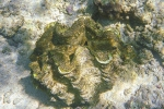 Riesenmuschel