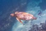 Schwimmen mit Meeresschildkröten ist ein faszinierendes Erlebnis