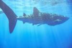 Walhai mit seinem Putzergefolge