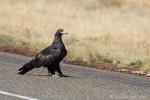 Australischer Keilschwanz-Adler (Aquila audax)