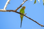 Grüner Wellensittich (Melopsittacus undulatus)