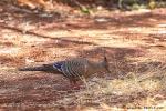 Rotschopftaube, Spinifex Pigeon