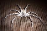 Riesenkrabbenspinne (Sparassidae)