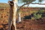 Mit seiner weißen Rinde bietet der snappy gum einen tollen Kontrast zur roten Erde der Pilbara