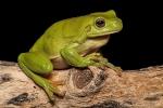 Grüner Baumfrosch (Litoriacaerulea), Green tree frog