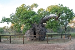 Bekannteste Attraktion von Derby ist der Gefängnisbaum - ein Baobab, in dessen ausgehöhltem Bauch früher Sträflinge eingesperrt wurden