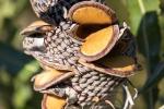 Samenstand einer Protea