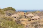 Emus haben eine perfekte Tarnung und sehen aus wie Büsche