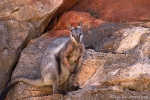 Schwarzfuß-Felsenkänguru, black footed rock-wallaby