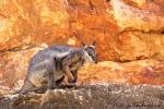 Schwarzfuß-Felsenkänguru, black footed rock-wallaby
