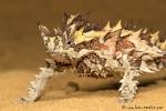 Dornteufel (Moloch horridus)