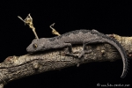 Gecko (Strophurus spinigerus), Spiny-tailed Geckos