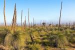 Grasbäume im Wanagarren Nature Reserve