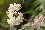 Begonie (Begonia conchifolia)