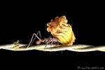 Blattschneideameisen bringen ihren Blumenschmuck nach Hause