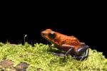 Erdbeerfrosch (Oophaga pumilio), Blue Jeans Dart Frog