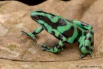Goldbaumsteiger (Dendrobates auratus), Black and Green Dartfrog