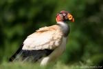 Königsgeier (Sarcoramphus papa), King Vulture