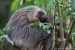 Zweifingerfaultier (Choloepus didactylus), Southern Two-toed Sloth