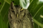 Kreischeule (Megascops choliba), Tropical Screech Owl