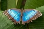 Morpho Schmetterling (Morpho deidamia), Morpho Butterfly