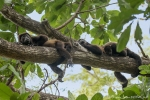 Schwarze Brüllaffen (Alouatta caraya), Black Howler Monkey
