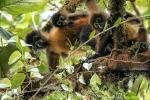 Klammeraffen (Ateles belzebuth), Spidermonkeys